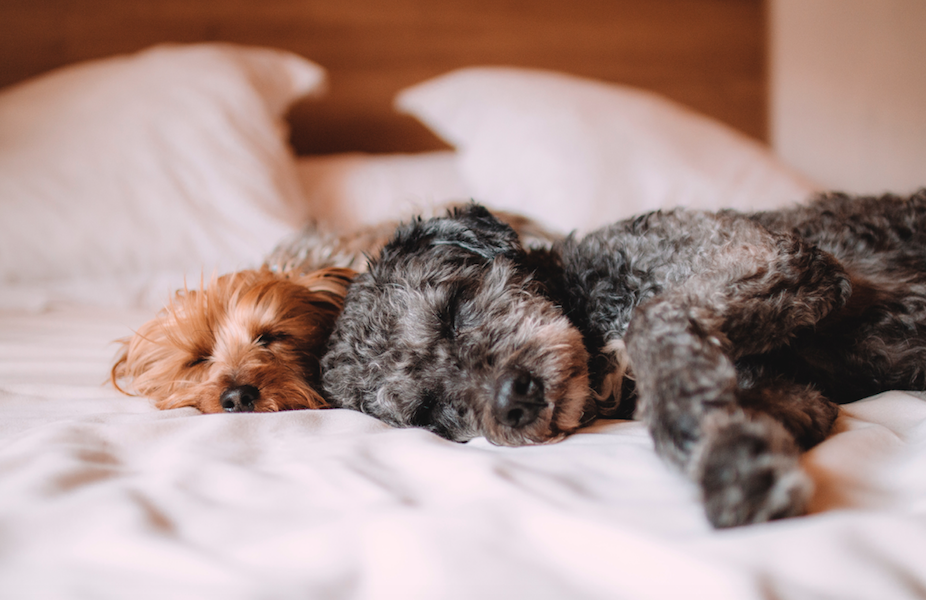 A yorkie and a black dog sleep side by side in a white bed