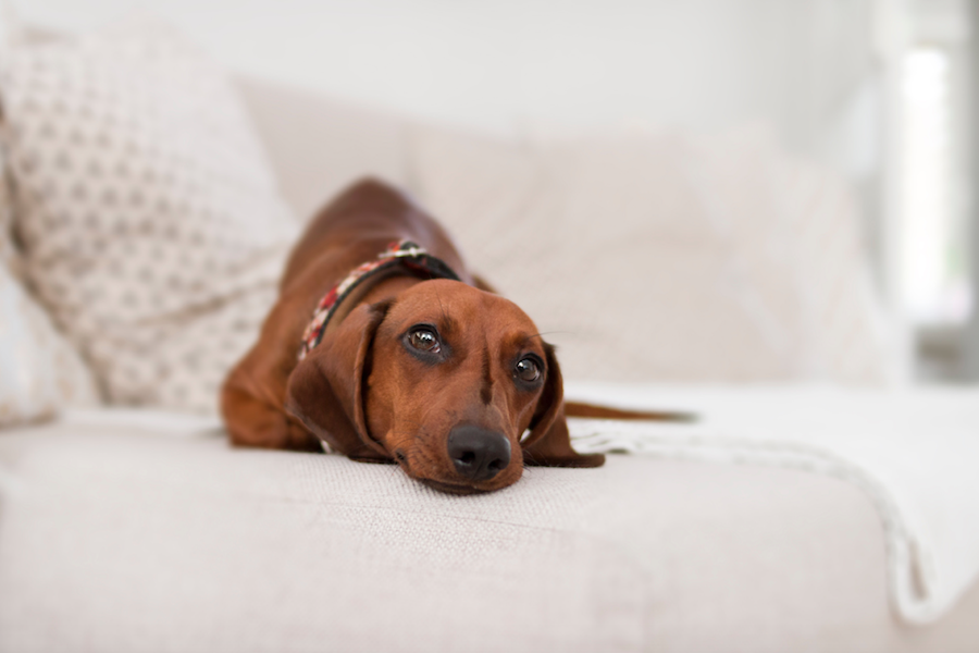 A brown dachshund lays on a cream colored couch