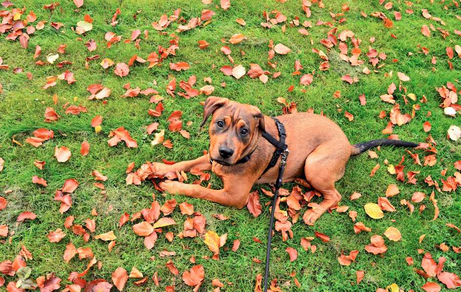 A brown dog sits in the grass surrounded by leaves that are also brown