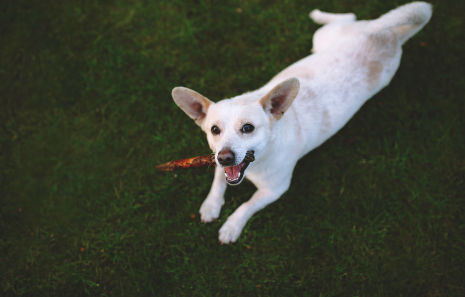 A white dog lays in the grass and chews a stick