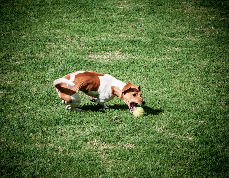 A brown and white dog chases a ball on a grassy yard