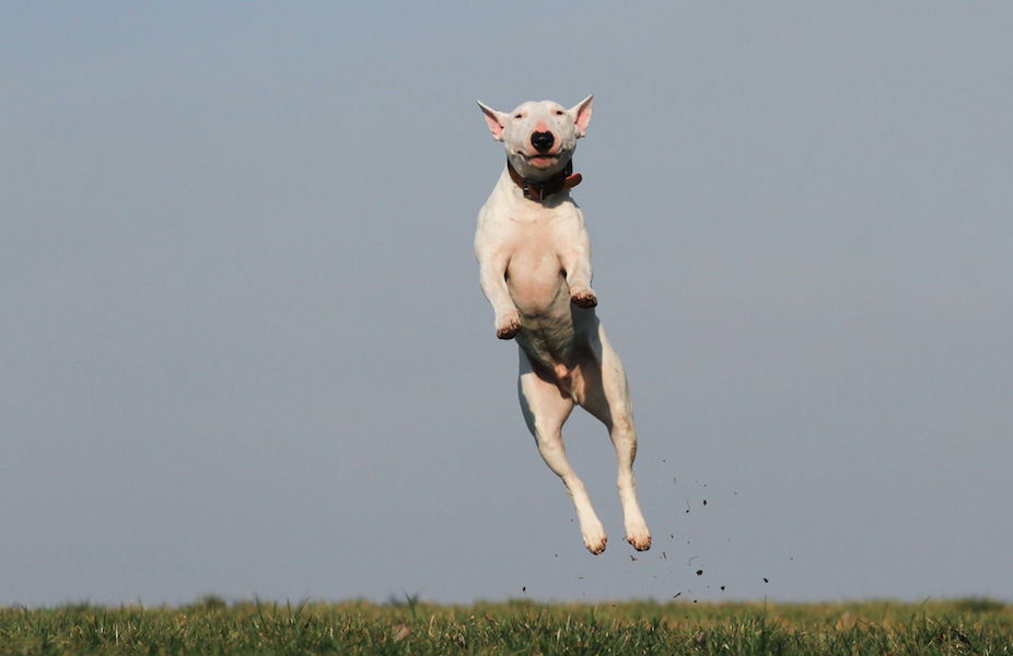 A white dog jumps off the ground with grass below him and blue sky behind him