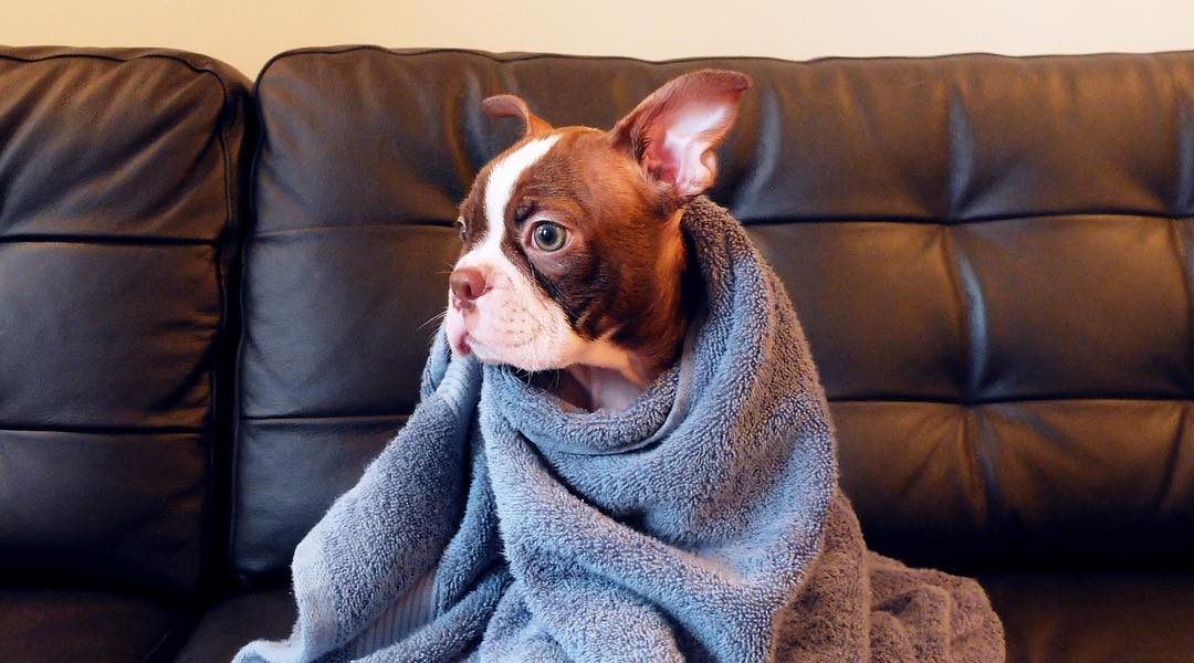 Boston terrier wrapped up in a towel after getting a bath.