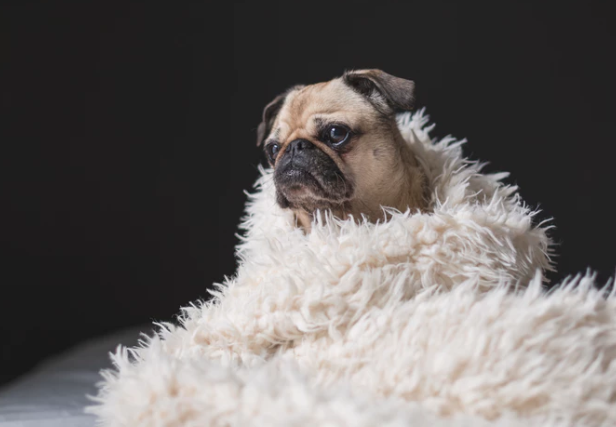 A pug snuggled up in a blanket getting ready to watch a movie.