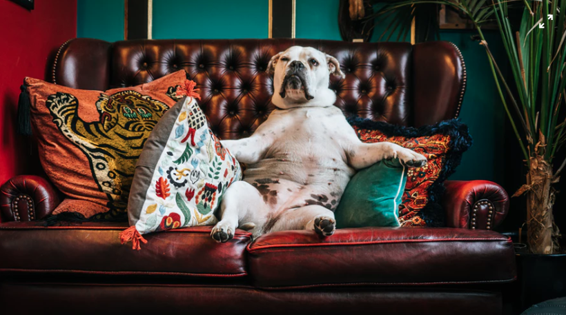 A bulldog lounging on a couch reading to watch its favorite dog movies.