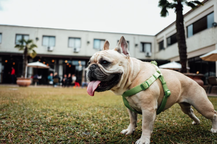 A French Bulldog hangs out with his tongue out at a dog friendly venue