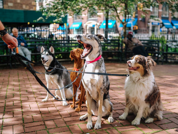 Four dogs on leashes sitting outside a park with a walker