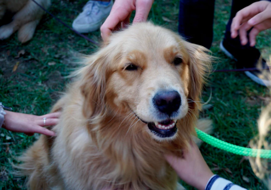A golden retriever getting a lot of attention at a dog friendly event