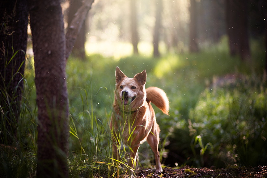 A dog hiking in a wooded forest.