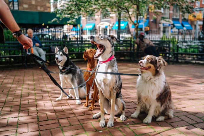 Four dogs on leashes all sitting outside a park with a dog walker