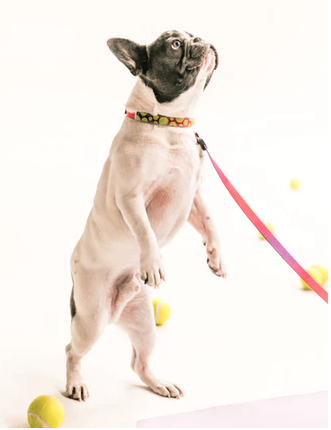 whit and black pug standing with leash with tennis balls surrounding