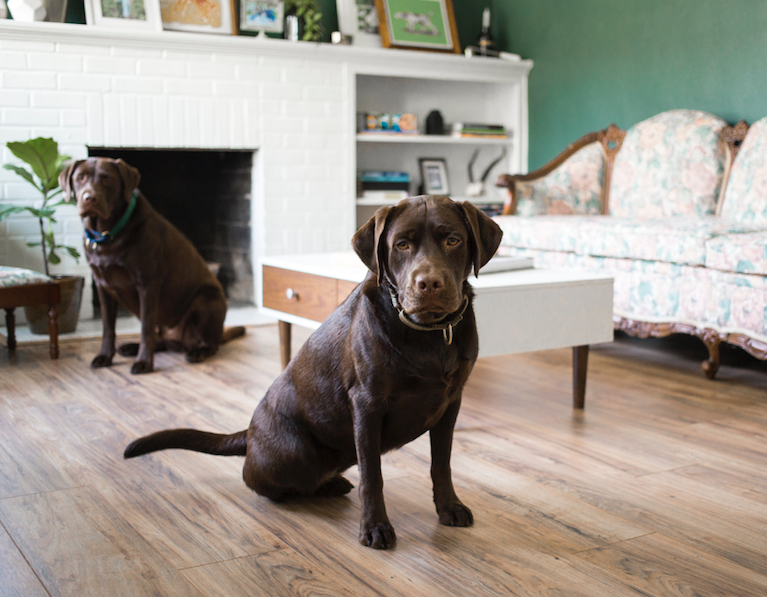 two brown labs inside living room of home