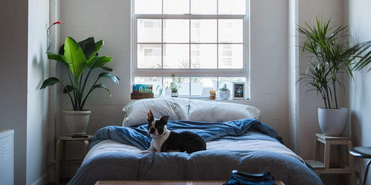 Boston terrier laying on a bed.
