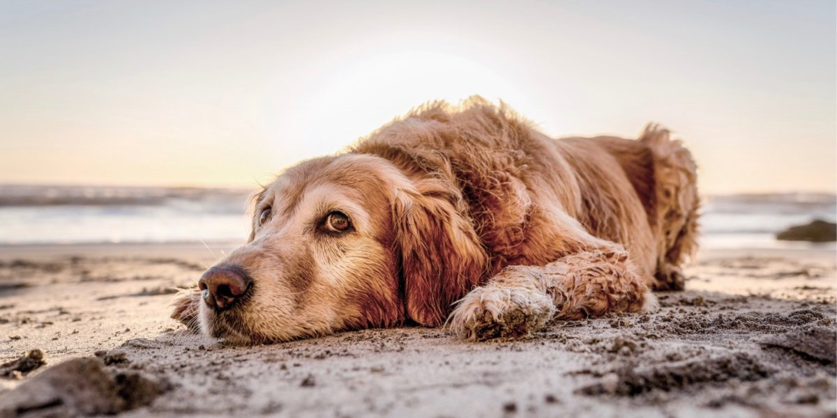 Golden retrieve laying in the sand.
