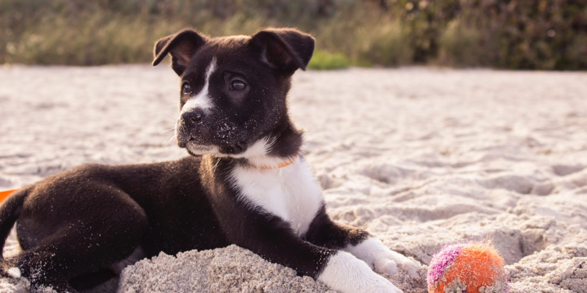 Puppy playing with a tennis ball on a dog friendly beach.