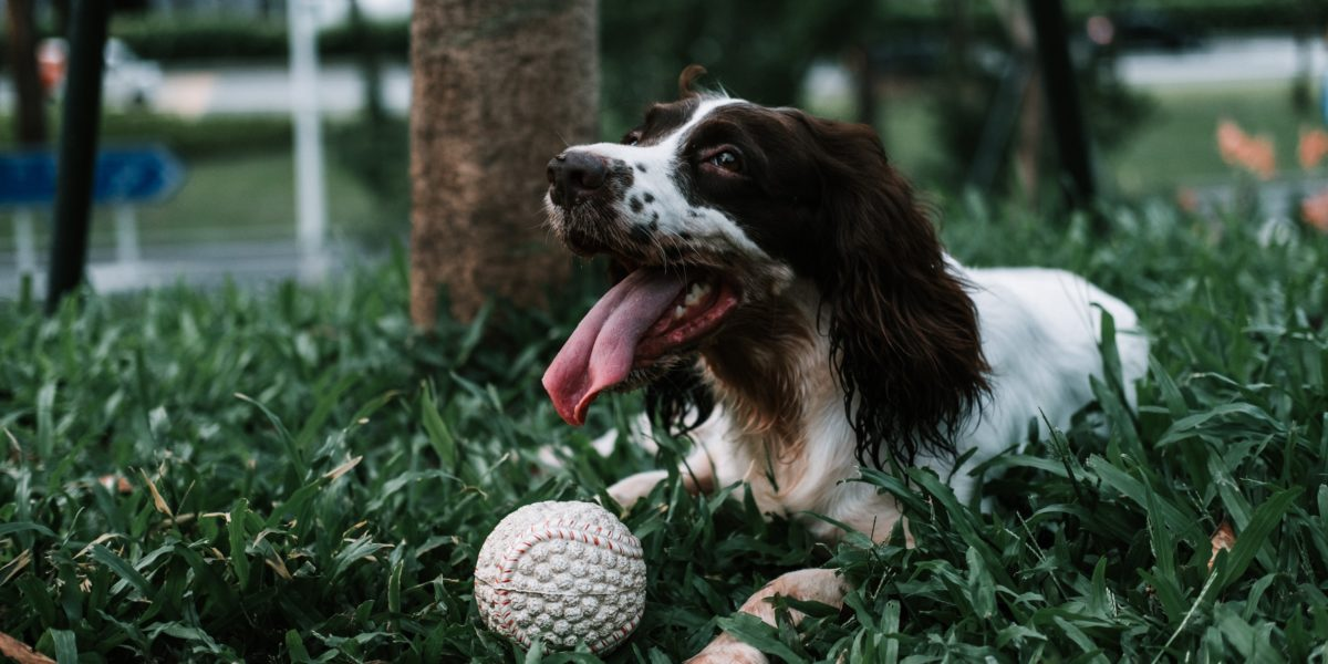 A Brittany Spaniel taking a break from playing fetch in a wooded dog park.